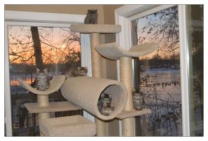 Eleven kittens (the ones you can count are in the tube) on the cat tree with beautiful Sunset Lake in the background.