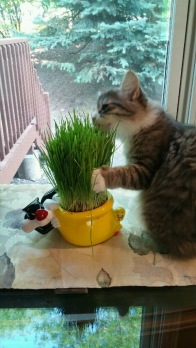Getting a little snack of wheatgrass from his Sylvester & Tweety planter.