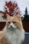 Simba will be 5 in January. He is the kitten that lies across the top of  my blog.  Thanks Heidi!